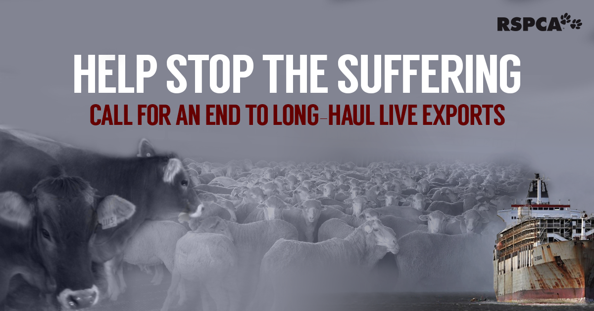 live export Australias department of agriculture has canceled the livestock export license of emanuel exports .