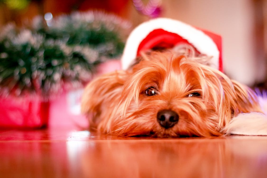six tips for keeping your pet safe this christmas rspca australia
