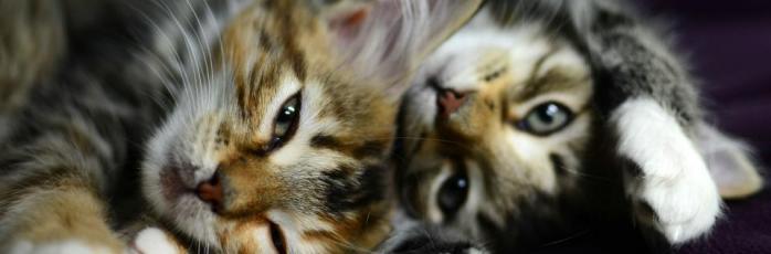 adopting a cat or kitten rspca australia