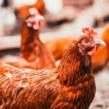 chickens | RSPCA Australia
