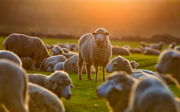 Sheep in sunlight